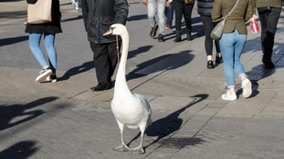 Hugh of Lincoln was famous for having a white swan follow him around.