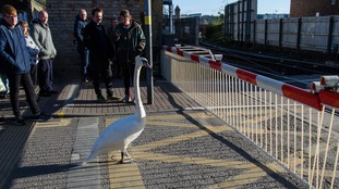 Swan pictured waiting patiently at high street level crossing