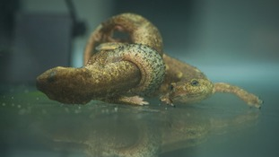 Chester Zoo successfully breeds one of world's rarest newts