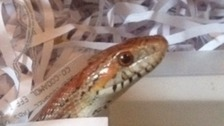 Caernarfon snake in a drain reunited with owner
