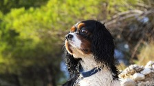 A King Charles spaniel, similar to the breed pictured here, was killed in the attack.