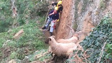 Five sheep killed after being chased over cliffs by dogs