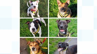 The six staffies searching for a new home