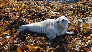 Two seal pups rescued in Jersey and Guernsey