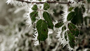 Hoar frost on a bush in Kemble, Gloucestershire, as cold temperatures lead to a frost.