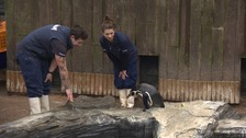 Norfolk penguin reunion but 'Dippy' has cold feet
