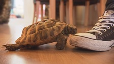 The tale of Timmy 'the world's angriest tortoise'