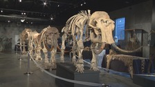 Mammoth skeletons fail to sell at Sussex auction