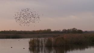 A murmuration of starlings spotted in Strumpshaw near Norwich.