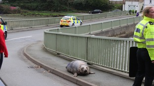 The seal caused traffic chaos after becoming stuck on a bridge