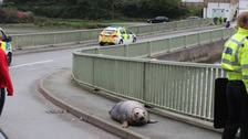 'Aggressive' seal washed onto busy road
