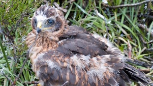 Rare hen harrier 'Manu' goes missing near Carlisle