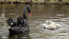 Three newly hatched cygnets along with a black swan.