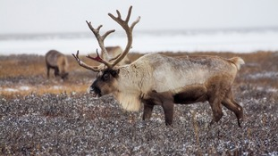 Trains kill 106 reindeer in Norway in just three days