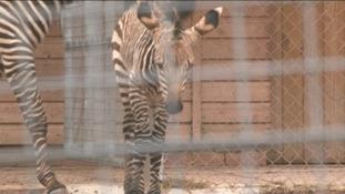 Baby zebra at Paignton Zoo