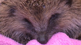 Suzanne has released four steps of what to do if you find a hedgehog.