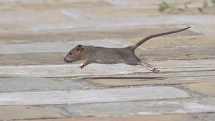 London's rat problem worsens with 100 complaints a day