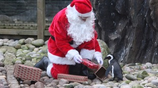 Mimi, the South African Penguin, with Santa at Bristol Zoo.