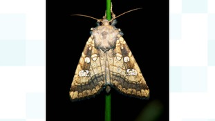 Rare Essex moth makes comeback after conservation efforts