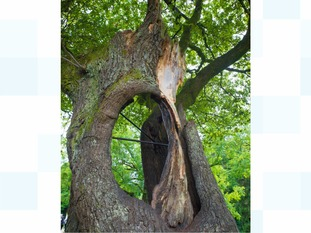 Hollow Oak