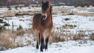 Exmoor ponies return to Durham Wildlife Trust for winter