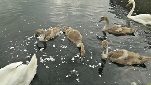 Decapitated swans linked to Croydon Cat Killer as residents set up lake patrol