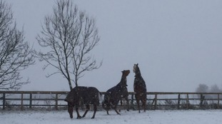Rescue horses in the snow in Suffolk.