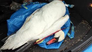 swan killed in Antrim