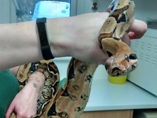 The seven-foot long boa constrictor