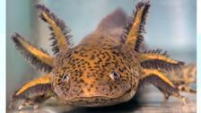 Juan, the Axolotl Salamander