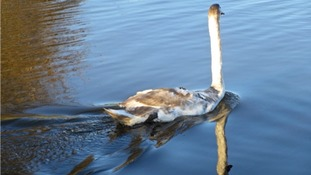 Orphaned swan finds a new home ready for Christmas