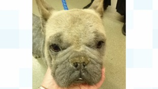 French Bulldog found hairless and with serious injury in Cardiff