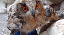 Boo boo the eagle owl who had leg splints has died