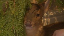 Baby fawn camping out in the spare room for Christmas