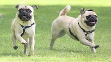 Vets warn of dangers of designer dog breeding