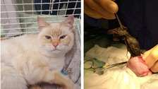 Cat seeks new 'forever home' after surgery to remove dead rat