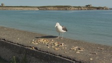 Seagull saved from cull in Jersey