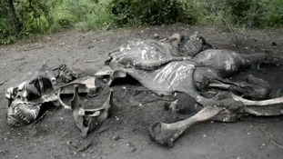 An elephant carcass.