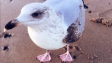 No guarantee on fate of Gulliver the seagull