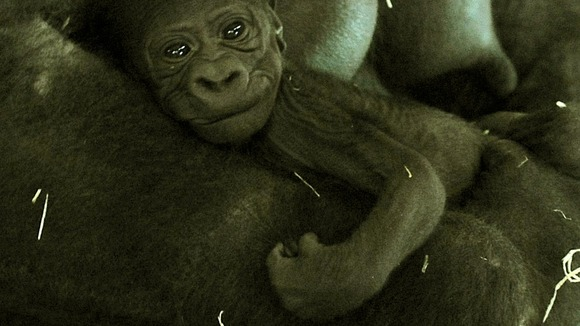 The new born western lowland gorilla