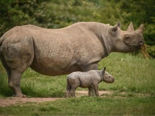 Rare Eastern Black Rhino mother and calve