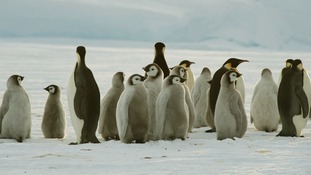 Baby emperor penguins are watched over adults ones