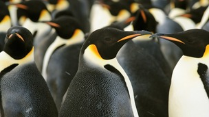 The newly discovered emperor penguin colony
