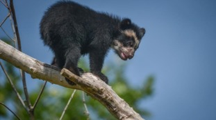 First Andean Bear born in mainland GB