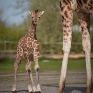 Rothschild's Giraffe Calf