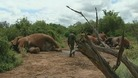 Some of the slaughtered elephants lie on the ground