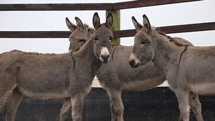 Neglected donkeys given sanctuary after rescue
