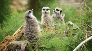 Three meerkats seen at London Zoo