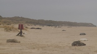 Grey seal pups are breeding in their thousands on the Norfolk coast