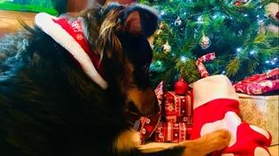 """""""Milo wearing his Yappy Christmas bandana"""""""